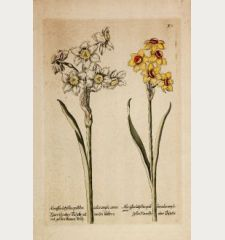 Narciße oder Tazette mit weisen blättern und gelben blumen kelch / Gelbe Narciße oder Tazette