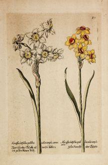 Grafiken, Anonymous, Narzisse, 1600: Narciße oder Tazette mit weisen blättern und gelben blumen kelch / Gelbe Narciße oder Tazette