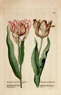 Grafiken, Anonymous, Tulpe, 1600: Weiß mit roth und grü. gestreifte Tulpe / Violet mit weiß vermengte Tulpe