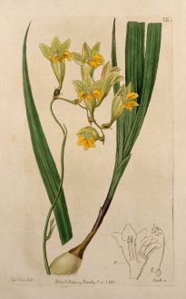 Grafiken, Edwards, Tritonie (Schwertliliengewächs), 1816: Iridaceae, Tritonia reflecta