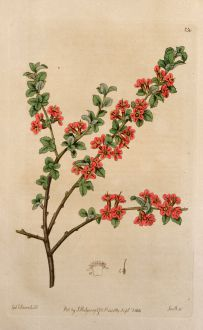 Grafiken, Edwards, Bergkirsche, 1816: Prunus prostrata, Rosaceae. Mountain Cherry.