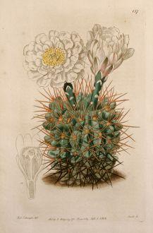 Graphics, Edwards, Cactus, 1816: Gymnocalycium gibbosum. Cactus gibbosus. Mr Vere Melon-Thistle.