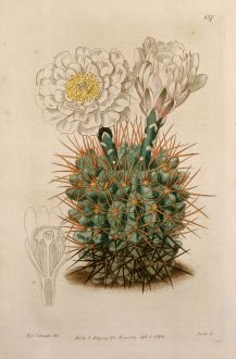 Grafiken, Edwards, Kaktus, 1816: Gymnocalycium gibbosum. Cactus gibbosus. Mr Vere Melon-Thistle.