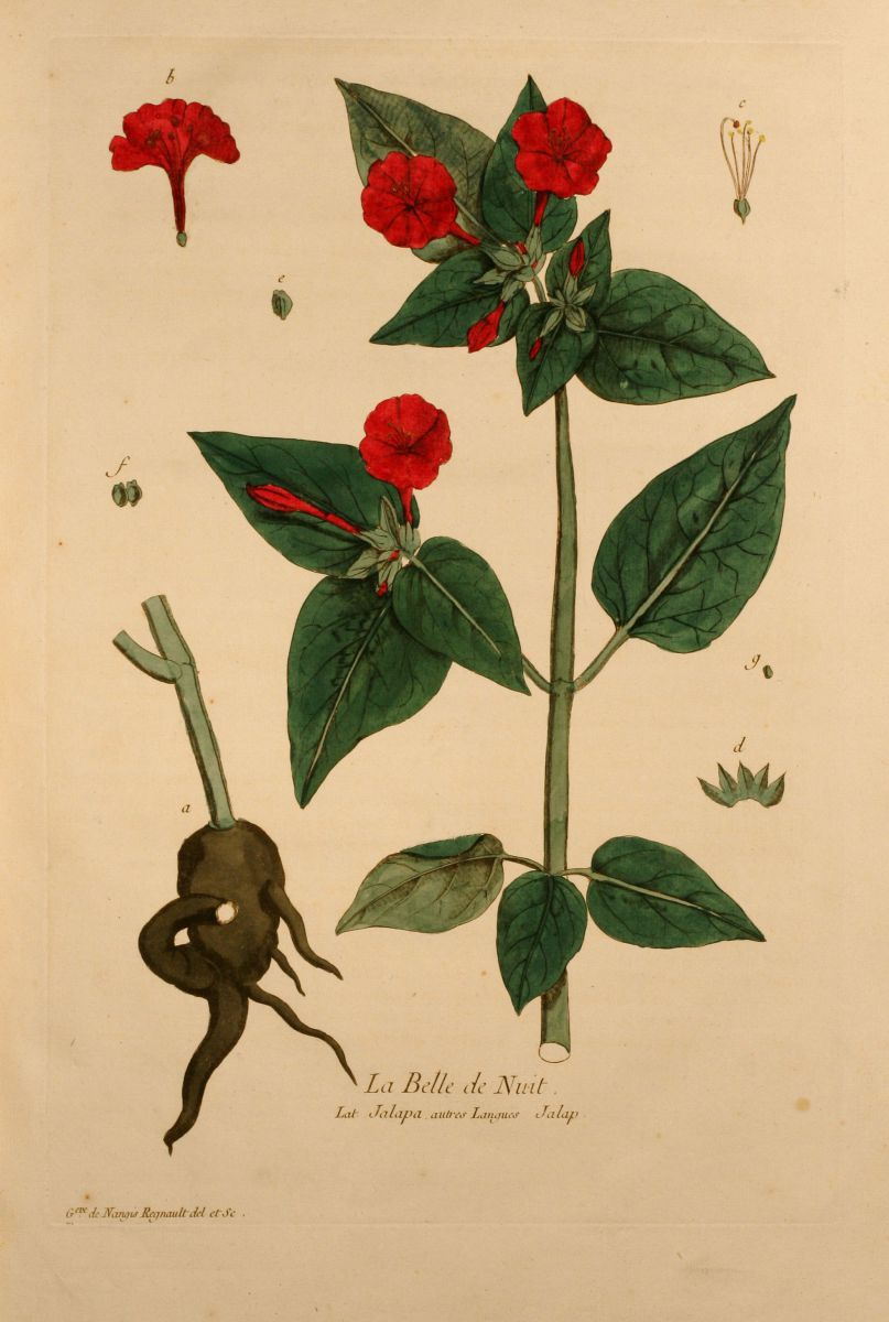 La belle de nuit mirabilis jalapa regnault 1774 - Belle de nuit plante ...