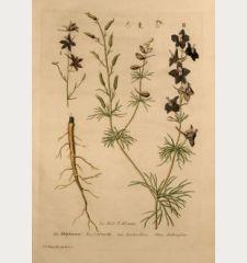Le Pied d'Alouette, Larkspur, Rittersporn, Delphinium