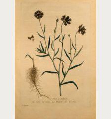 Le Bluet ou Aubifoin, Bluebottle, Kornblume, Centaurea Cyanus