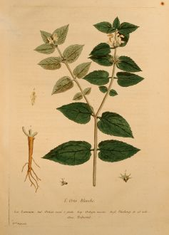 Graphics, Regnault, Deadnettle, 1774: L'Ortie Blanche, Deadnettle, Taubnessel, Lamium
