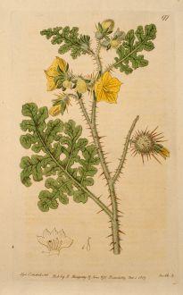 Grafiken, Edwards, Nachtschattengewächs, 1817: Solanum fontanesianum. Desfontaines's Nightshade.