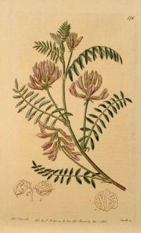 Grafiken, Edwards, Astragalus Caryocarpus, 1816: Astragalus Caryocarpus. Nut-podded Milk-Vetch.