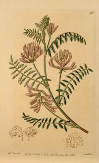Graphics, Edwards, Buffalo Pea, 1816: Astragalus Caryocarpus. Nut-podded Milk-Vetch.