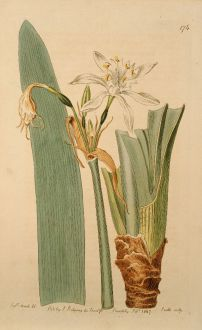 Graphics, Edwards, Canary Sea Daffodil, 1817: Pancratium Canariense. Canary Sea-Daffodil, or Pancratium.