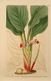 Grafiken, Edwards, Fingerwurz, 1817: Kaempferia Pandurata. Sumatra Kaempferia.