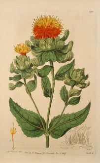 Grafiken, Edwards, Färberdistel, 1817: Carthamus Tinctorius. Safflower, or Bastard-Saffron.