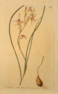 Graphics, Edwards, Cornflag, 1817: Gladiolus Edulis. Esculent-rooted Cornflag.