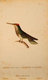 Grafiken, Lesson, Kolibri, 1829: Oiseau-Mouche à Couronne Violette.
