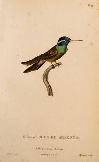 Grafiken, Lesson, Kolibri, 1829: Oiseau-Mouche Arsenne