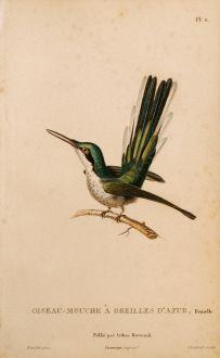 Grafiken, Lesson, Kolibri, 1829: Oiseau-Mouche à Oreilles d'Azur, Femelle