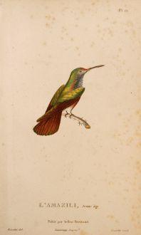Grafiken, Lesson, Kolibri, 1829: L'Amazilli, Jeune âge