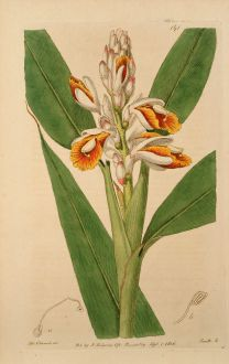Grafiken, Edwards, Galgant, 1817: Alpinia calcarata. Upright flowering Alpinia.