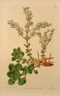 Grafiken, Edwards, Schatten Fetthenne, 1817: Sedum ternatum. Three-leaved american Stone-crop.