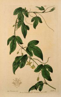 Grafiken, Edwards, Passionsblume, 1817: Passiflora minima. Curassoa Passionflower.
