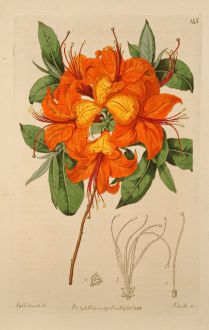 Graphics, Edwards, Flame Azalea, 1817: Azalea calendulacea. Flame-coloured Azalea.