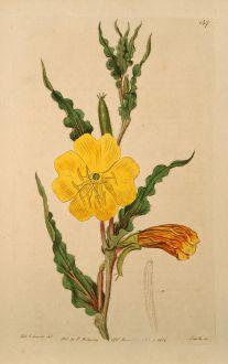 Grafiken, Edwards, Duftnachtkerze, 1817: Oenothera odorata. Curled-leaved Oenothera