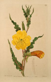 Graphics, Edwards, Fragrant Evening Primrose, 1817: Oenothera odorata. Curled-leaved Oenothera