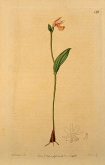 Graphics, Edwards, Rose Pogonia, Orchid, 1817: Pogonia ophioglossoides. Addre's tongue leaved Pogonia.