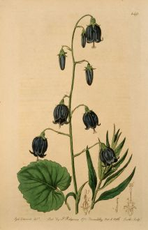 Grafiken, Edwards, Glockenblume, 1816: Campanula coronata. Crowned siberian Bell-flower.