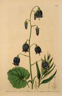 Graphics, Edwards, Siberian Bellflower, 1816: Campanula coronata. Crowned siberian Bell-flower.