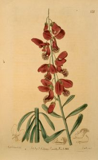 Grafiken, Edwards, Knöterichgewächs, 1816: Polygala speciosa. Large flowered Cape Milkword