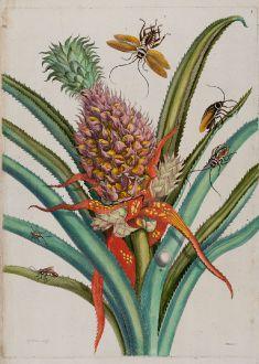Grafiken, Merian, Ananas mit Schaben, 1705-71: Ananas [Pineapple with Cockroaches - Ananas mit Schaben]