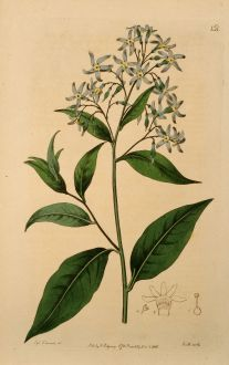 Grafiken, Edwards, Blaustern, 1816: Amsonia latifolia. Broad-leaved Amsonia.