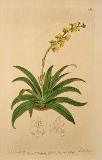 Grafiken, Edwards, Cryptarrhena Orchidee, 1816: Cryptarrhena lunata. Crescent-lipped Cryptarrhena.
