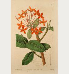 Ixora grandiflora. Large-flowered scarlet Ixora.