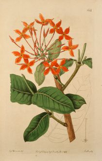 Graphics, Edwards, Great Flowered Scarlet, 1816: Ixora grandiflora. Large-flowered scarlet Ixora.