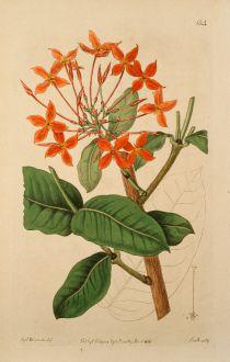 Grafiken, Edwards, Krappgewächs, 1816: Ixora grandiflora. Large-flowered scarlet Ixora.