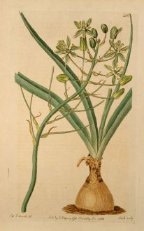 Grafiken, Edwards, Milchstern, 1816: Ornithogalum prasinum. Pea-green flowered Cape Star-of-Bethlehem.