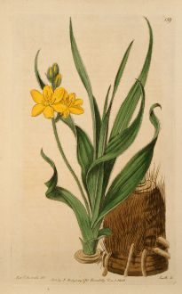 Grafiken, Edwards, Sterngras, 1816: Hypoxis obtusa. Mr. Burchell's Hypoxis.
