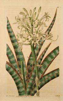 Grafiken, Edwards, Teufelszunge, 1816: Sanseviera zeylanica. Ceylon Bow-String-hemp.