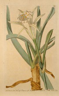 Grafiken, Edwards, Dünen Trichternarzisse, 1816: Pancratium maritimum. Sea-Pancratium, or Daffodil.