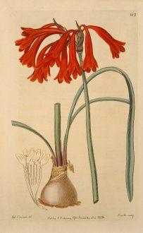 Grafiken, Edwards, Südafrikanische Lilie, 1816: Cyrtanthus collinus. Narrow glaucous-leaved Cyrtanthus.