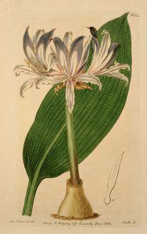 Grafiken, Edwards, Amaryllisgewächs, 1816: Amaryllis hyacinthina. Hyacinthine Amaryllis.