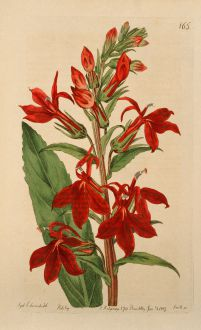 Graphics, Edwards, Cardinal Flower, 1816: Lobelia fulgens. Refulgent Lobelia.