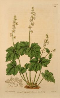 Grafiken, Edwards, Bischofskappe, 1816: Mitella diphylla. Two-leaved Mitella.