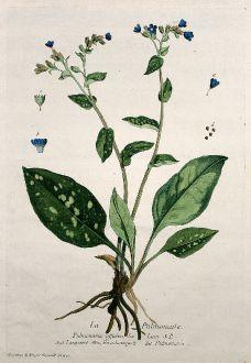 Grafiken, Regnault, Lungenkraut, 1774: La Pulmonaire. Pulmonaria officinalis. Langwort. Hirschmangolt. Pulmonaria.