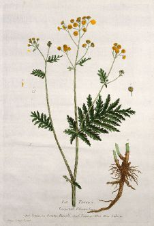 Grafiken, Regnault, Rainfarn, 1774: La Tanaisie. Tanacetum Vulgare. Tanaceto, Daneto, Daneda. Tansey. Rein-Fabren.