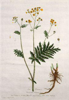 Graphics, Regnault, Tansy, 1774: La Tanaisie. Tanacetum Vulgare. Tanaceto, Daneto, Daneda. Tansey. Rein-Fabren.