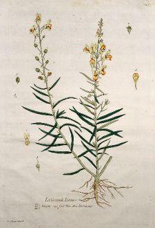 Graphics, Regnault, Foxglove, 1774: La Grande Linaire. Linaria. Toad Flax. Flachskraut